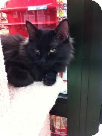 Domestic Longhair Cat for Sale in Fountain Hills, Arizona - MILO