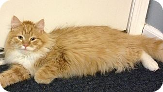 Maine Coon Kitten for Sale in Pittstown, New Jersey - Charm