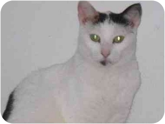 Domestic Shorthair Cat for adoption in Quincy, Massachusetts - Maribelle