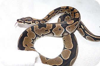 Snake for Sale in Richmond, British Columbia - Dodger