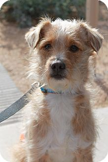 Terrier (Unknown Type, Medium) Mix Dog for Sale in Phoenix, Arizona - Wendell