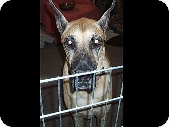 Great Dane Dog for Sale in Phoenix, Arizona - Bernie