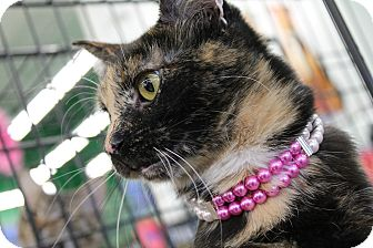 Domestic Shorthair Cat for adoption in West Lafayette, Indiana - Buckles