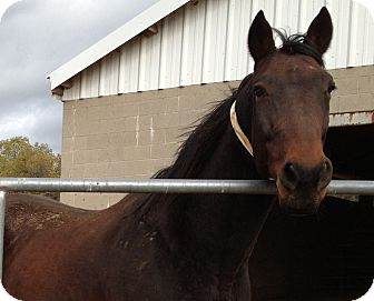 Standardbred Mix for Sale in Bangor, California - Master