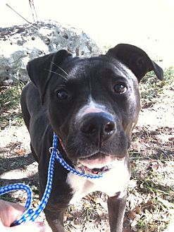 Pit Bull Terrier Dog for adption in Spring Branch, Texas - Scarlet