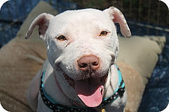 Dogo Argentino/Boxer Mix Dog for adption in Atlanta, Georgia - Norma Jean