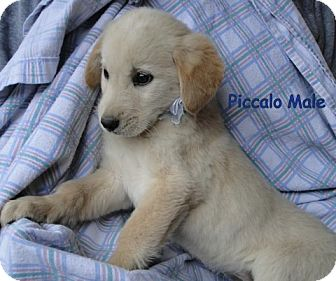 Australian Shepherd/Labrador Retriever Mix Puppy for Sale in Danbury, Connecticut - Piccalo ADOPTION PENDING