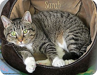 Domestic Shorthair Cat for adoption in St Louis, Missouri - Sarah