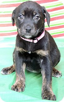 Labrador Retriever/Rottweiler Mix Puppy for Sale in Thousand Oaks, California - Ginger