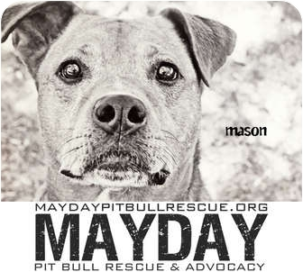 American Pit Bull Terrier Mix Dog for adption in Phoenix, Arizona - Mason