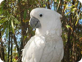 Cockatoo for adoption in Melbourne Beach, Florida - Dusty