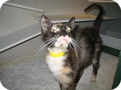 Domestic Shorthair Cat for adoption in Shelton, Washington - Inga