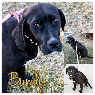 Labrador Retriever/Great Dane Mix Puppy for Sale in Westland, Michigan - Bundy
