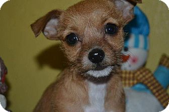 Terrier (Unknown Type, Small)/Chihuahua Mix Puppy for Sale in San Diego, California - Cinnamon