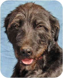 Terrier (Unknown Type, Medium)/Labrador Retriever Mix Dog for adption in Canon City, Colorado - MissWiz CI 2001