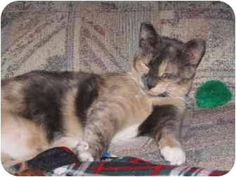 Calico Cat for Sale in Orlando, Florida - Callie Muffin