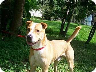 Labrador Retriever/Terrier (Unknown Type, Medium) Mix Dog for adption in Parkland, Florida - Hagar
