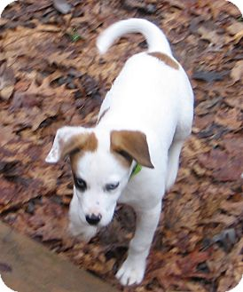 Hound (Unknown Type) Mix Puppy for Sale in Richmond, Virginia - Boo