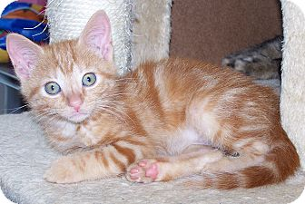 Domestic Shorthair Kitten for Sale in Troy, Michigan - Glinda