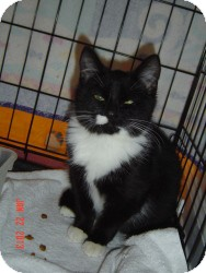 Munchkin Cat for Sale in Medford, New Jersey - Magnificat