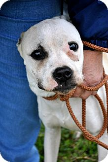 Boxer/American Bulldog Mix Puppy for Sale in Glastonbury, Connecticut - Merry