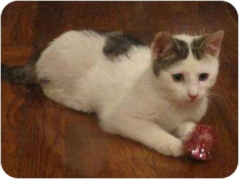 Domestic Shorthair Kitten for Sale in New York, New York - James