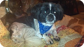 Shih Tzu Dog for Sale in Hazard, Kentucky - Aldo