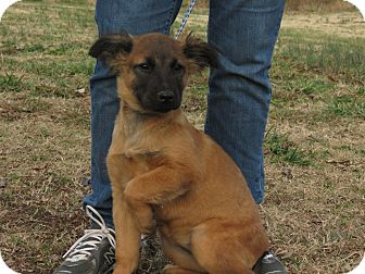 Belgian Malinois/Golden Retriever Mix Puppy for Sale in Glastonbury, Connecticut - Shelly~meet me~