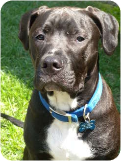 Fila Brasileiro/American Pit Bull Terrier Mix Dog for adption in Detroit, Michigan - Danny