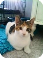 Domestic Shorthair Kitten for Sale in Albany, New York - Muffin