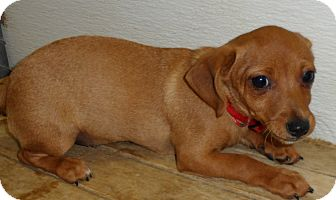 Dachshund/Rat Terrier Mix Puppy for adption in Seattle, Washington - Finnesse