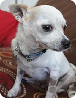 Chihuahua Mix Dog for Sale in San Diego, California - PeteE