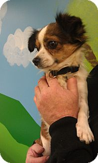 Chihuahua/Papillon Mix Dog for Sale in New Windsor, New York - Mark