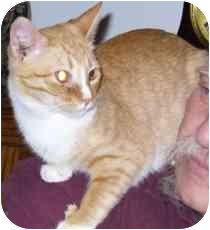 Domestic Shorthair Cat for adoption in Fayette, Missouri - Buckaroo Banzai