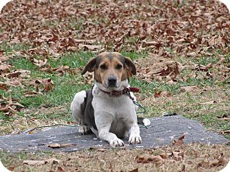Beagle/Hound (Unknown Type) Mix Dog for Sale in Oakland, Arkansas - Roadie