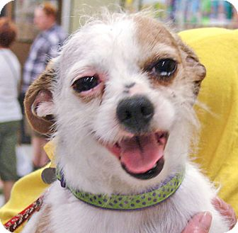 Chihuahua/Terrier (Unknown Type, Small) Mix Dog for adption in Howell, Michigan - Alvin