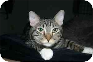 Domestic Shorthair Cat for adoption in Smithtown, New York - Cody