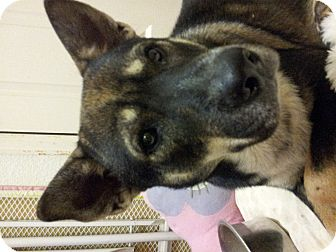 Akita/Shepherd (Unknown Type) Mix Dog for adption in Pflugerville, Texas - Taquito