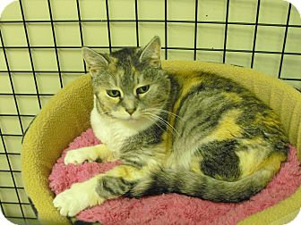 Calico Cat for Sale in Mission, British Columbia - Issabelle