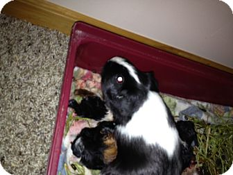 Guinea Pig for Sale in johnson creek, Wisconsin - little mama