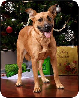 German Shepherd Dog Mix Dog for adption in Owensboro, Kentucky - Reba