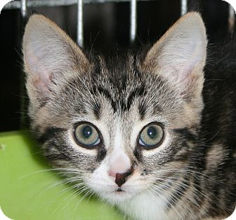 Domestic Shorthair Kitten for Sale in Plainville, Massachusetts - Kourtney