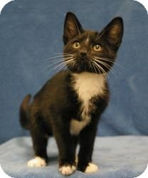 Domestic Shorthair Cat for Sale in Sacramento, California - Opie