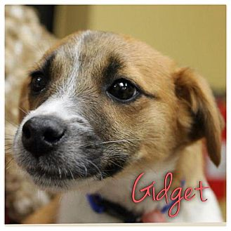 Jack Russell Terrier Mix Puppy for Sale in Westland, Michigan - Gidget