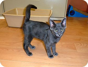 Domestic Shorthair Kitten for Sale in Franklin, New York - Little Man