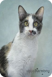 Calico Kitten for Sale in Phoenix, Arizona - Bijou