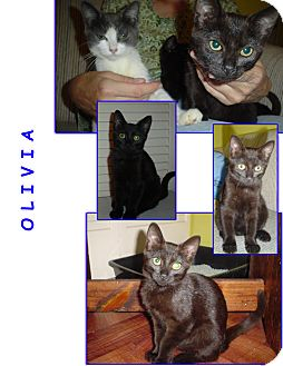 Domestic Shorthair Kitten for Sale in Bunnell, Florida - Olivia