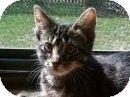 Domestic Shorthair Cat for Sale in Kansas City, Missouri - Felicity