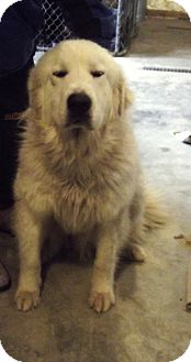 Great Pyrenees Dog for Sale in Morgantown, West Virginia - Aiko