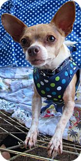 Chihuahua Mix Dog for Sale in San Diego, California - Harley